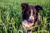 image of collier  - Argentine Countryside farm a Border Collie is playiing in the field.