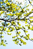 foto of dogwood  - Fresh leaves of dogwood  - JPG