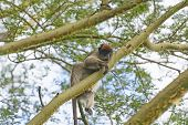 Red Colobus Monkey In A Tree
