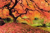 picture of maple tree  - Attractive Japanese maple tree in full autumn glory - JPG