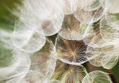 picture of parachute  - Detail of dandelion flowers parachutes - JPG