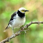 Black-collared Starling Bird (sturnus Nigricollis) On The Branch With Puffy Feathers