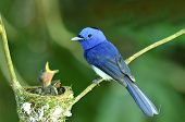 Black-naped Monarch, Black-naped Blue Flycatcher, Hypothymis Azurea, Asian Paradise Flycatcher, Feed