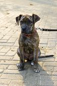 picture of catahoula  - piebald short-haired catahoula bulldog puppy is sitting
