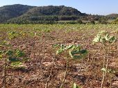 picture of cassava  - the cassava field in north of Thailand - JPG