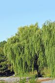 stock photo of weeping willow tree  - Weeping willow tree in the public park - JPG