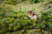 foto of chipmunks  - Detail of small chipmunk sitting on a green tree - JPG