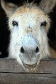 picture of horses ass  - Close up head shot of a donkey - JPG