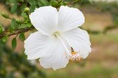 picture of hibiscus  - White hibiscus - JPG