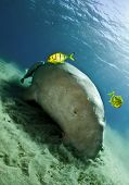 stock photo of sea cow  - dugong aka sea cow eating sea grass - JPG