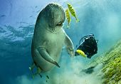 foto of sea cow  - dugong aka sea cow - JPG