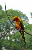 pic of sun perch  - sun conure or sun parakeet or aratinga solstitialis - JPG