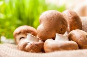 pic of agaricus  - Fresh brown whole uncooked Agaricus mushrooms on a hessian sack one of the most cultivated edible mushrooms in the world and a popular ingredient in savory and vegetarian cooking - JPG