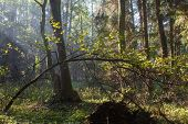picture of alder-tree  - Sunbeam entering rich deciduous forest misty morning with old alder trees in background - JPG
