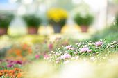 picture of greenhouse  - Greenhouse with colorful blooming flowers - JPG