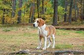image of foxhound  - Dog hound on fallen leaves in the autumn forest - JPG
