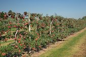 pic of orchard  - Apple orchard with red apples ready to be picked - JPG