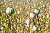 stock photo of opiate  - Heads of poppy close up in field - JPG