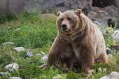 stock photo of grizzly bear  - close up of an adult grizzly bear on green grass - JPG