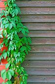 image of bine  - Curly Parthenocissus on the background of a wooden fence with brick pillars