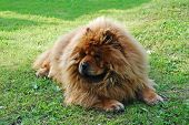 image of chow-chow  - Red chow chow on a green grass - JPG