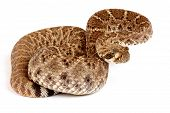 pic of western diamondback rattlesnake  - Closeup of a Western Diamondback Rattlesnake  - JPG