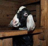 picture of nubian  - Nubian nice beautiful lovelu goat in barn - JPG