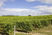 image of bordeaux  - Vineyard at the rural fields of Bordeaux - JPG