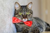 pic of yellow tabby  - tabby cat with yellow eyes wearing red bow tie  - JPG