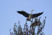 image of spread wings  - pair of gray herons in treetop - JPG