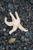 image of starfish  - A starfish caught by the low tide looks like it is running towards the ocean on a beach covered with dark pebbles in the state of Washington. Starfish are racing extinction with some already having lost the race. ** Note: Soft Focus at 100%, best at smal - JPG