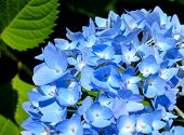stock photo of hydrangea  - Close up of blue hydrangea in bloom - JPG