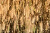 foto of dry grass  - Dry yellow grass closeup background - JPG