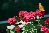 stock photo of flambeau  - A monarch butterfly  - JPG