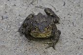 image of ugly  - Ugly toad has a stern countenance and moves clumsy on land - JPG