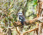 picture of kookaburra  - Australian laughing kookaburra perched on a branch - JPG