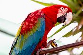 stock photo of cockatoos  - Red Macaw or Ara cockatoos parrot siting on metal perch - JPG