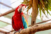 picture of cockatoos  - Red Macaw or Ara cockatoos parrot siting on wooden perch in zoo - JPG