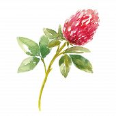 stock photo of red clover  - Red watercolor clover field - JPG