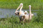 picture of swamps  - Great white pelican  - JPG