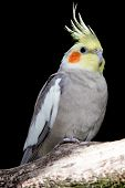 picture of cockatiel  - Cockatiel Parakeet Bird with orange cheek patch and crested feathers on it - JPG