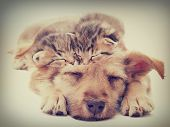 pic of puppy kitten  - beige puppy and kittens sleeps in a retro style - JPG