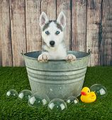 picture of tub  - Sweet little Husky puppy sitting in a bath tub outdoors with bubbles and a rubber ducky around him - JPG