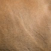 image of buckskin  - Close up horse skin concept for background - JPG