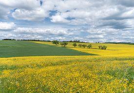 image of rape-field  - Blooming rural landscape with yellow flower meadows and rape fields as well as green grain fields - JPG