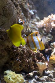 foto of butterfly fish  - Yellow tang fish and a copperband butterfly fish within a colorful seascape - JPG