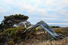 foto of juniper-tree  - Gnarled Juniper Tree Shaped By The Wind at El Sabinar, Island of El Hierro ** Note: Soft Focus at 100%, best at smaller sizes - JPG