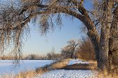 picture of cottonwood  - a natural area trail along frozen lake framed by large cottonwood trees winter scenery with distant person walking dogs Fort Collins Colorado - JPG