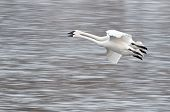 picture of trumpeter swan  - Two Trumpeter Swans  - JPG