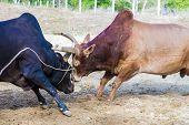 ������, ������: Traditional Cow Charges Into Another Fighting On Game Of The Bull
